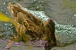 Duck by amerindub