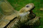 African Spurred Tortoise by amerindub