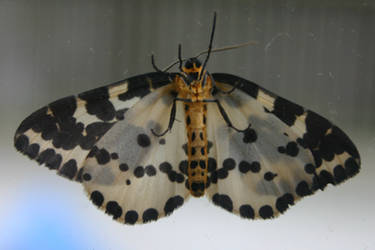 Moth on Glass by amerindub