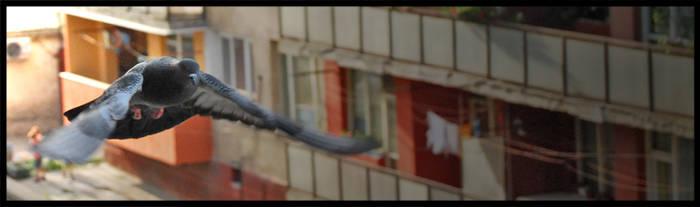 Pigeon by silvestrov