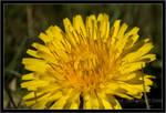 Little dandelion by chorage