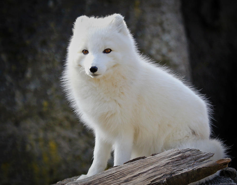 The gallery for --> Baby White Arctic Foxes - photo#16