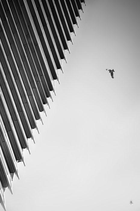 Hong Kong black kite by romainjl