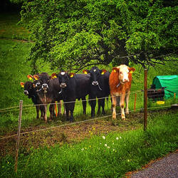 Cows by RedstoneArmy