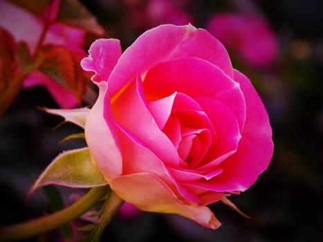 A Rose for Beltane