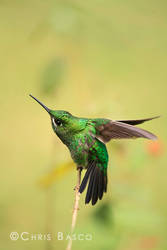 Green-crowned Brilliant by CBasco