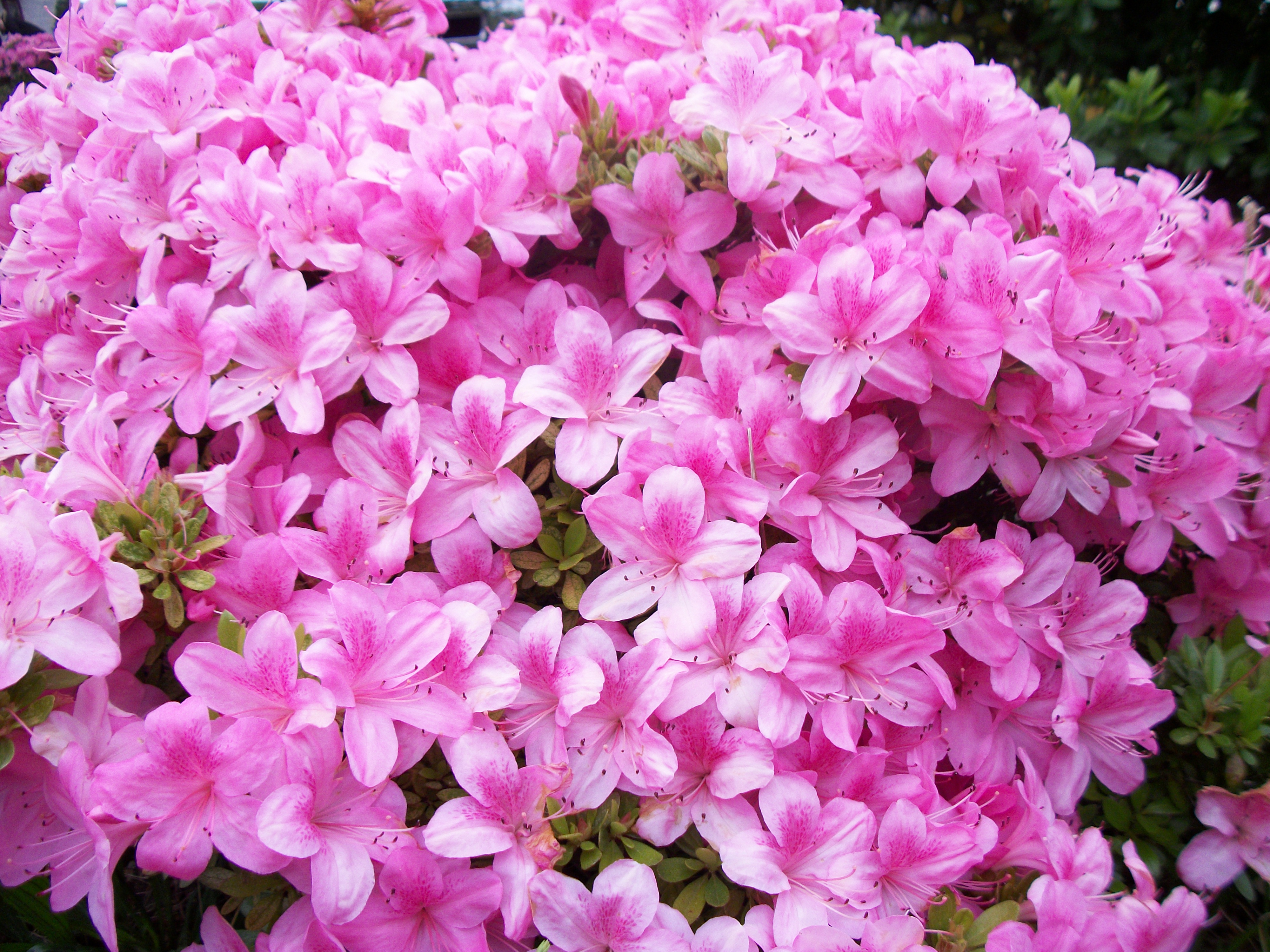 Pink The Color Of Flowers By Butterflyfiredragon On Deviantart