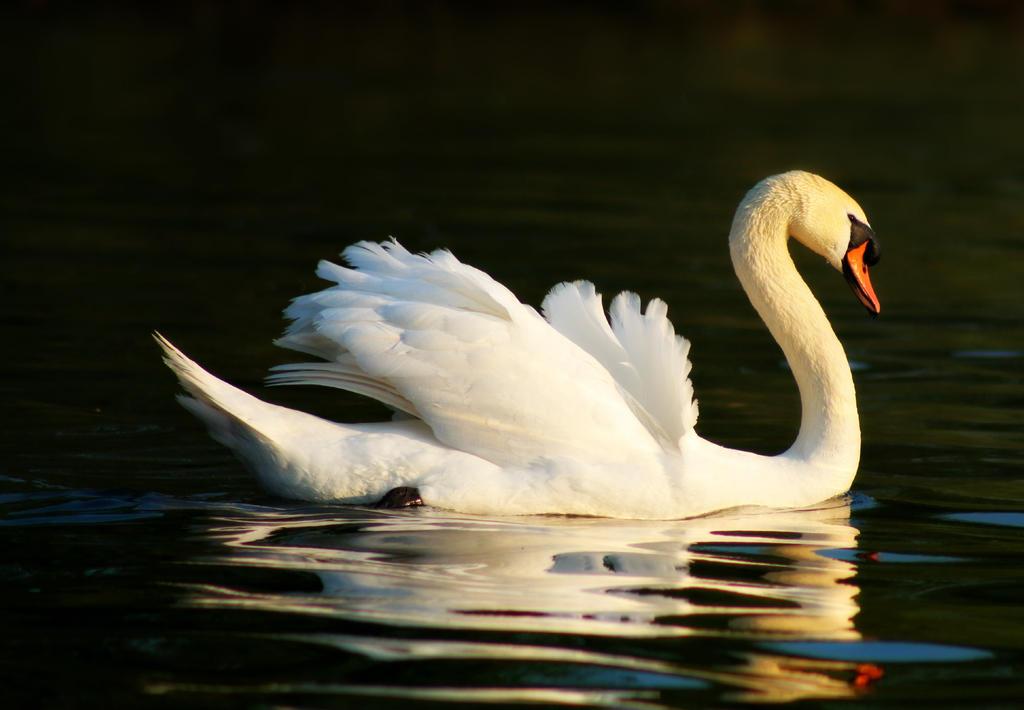 swan by philbertk