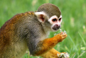 Squirrel Monkey by philbertk