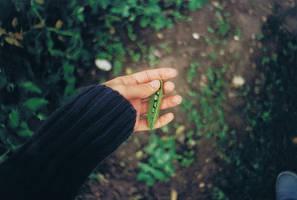 I planted peas. by gloeckchen
