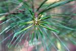 Pine Needles by newjuventud