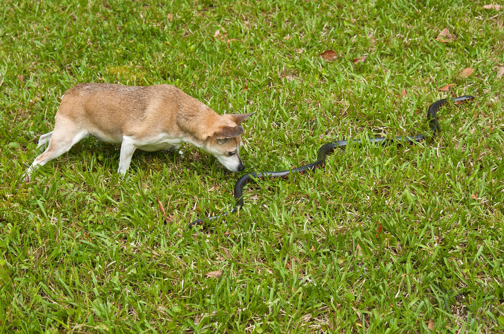 Sheba checks out a Mud Snake by MarshExplorer