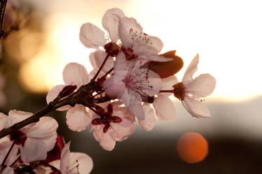 cherry sunset