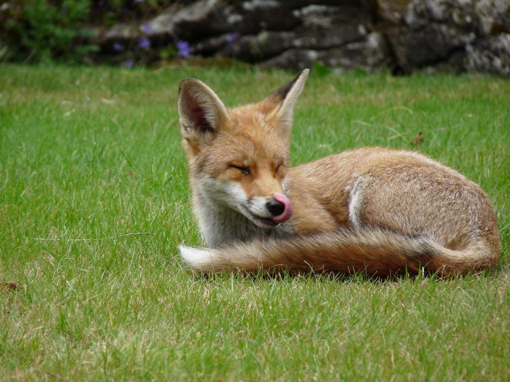Foxy Nose-Lick