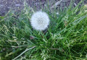 Dandelion Clock with Grass by Hrodulf