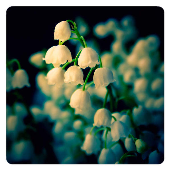 Lily Of The Valley By Ailenn On DeviantArt