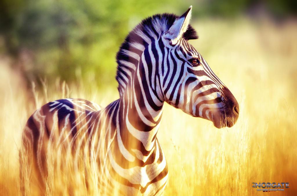 Zebra by ajnorgate