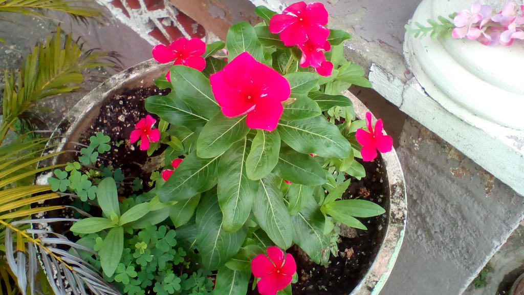 Hot Pink Periwinkles 2 by Anisa-Mazaki