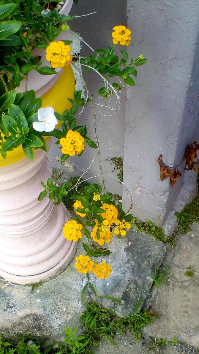 Golden Lantanas Vine 14 by Anisa-Mazaki