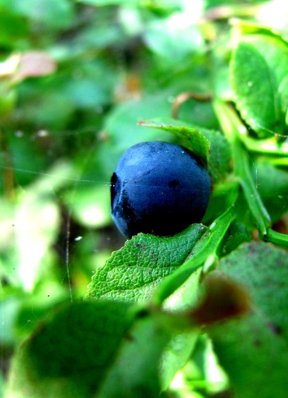 Blueberry Bush by Daghrgenzeen