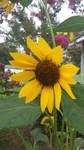 Happy Yellow Sunflower  by Siegfried1298