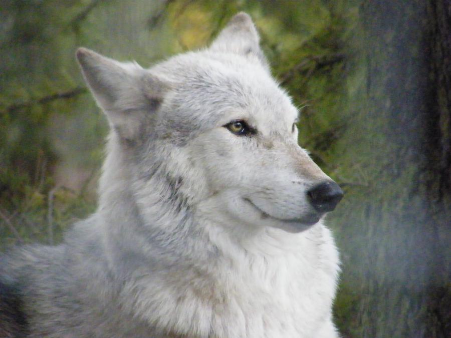 http://fc08.deviantart.net/fs71/i/2010/082/d/a/Wolf_Portrait_Stock_4_by_Clickitysnip_Stock.jpg