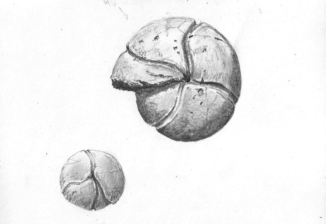 Cheiloceras by Silvanoxia
