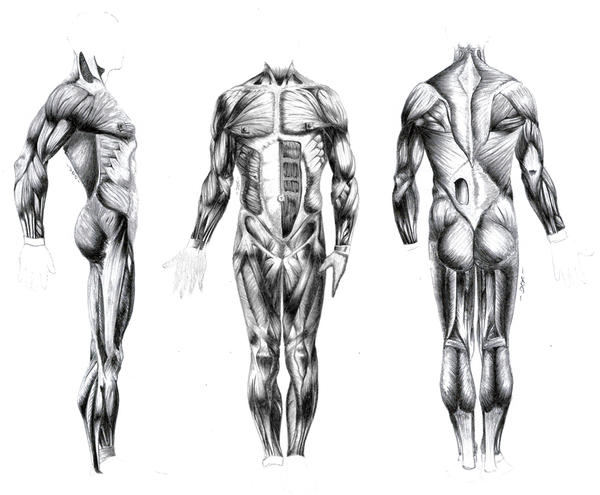 back anatomy - drawing by ceruleanvii on deviantart, Muscles