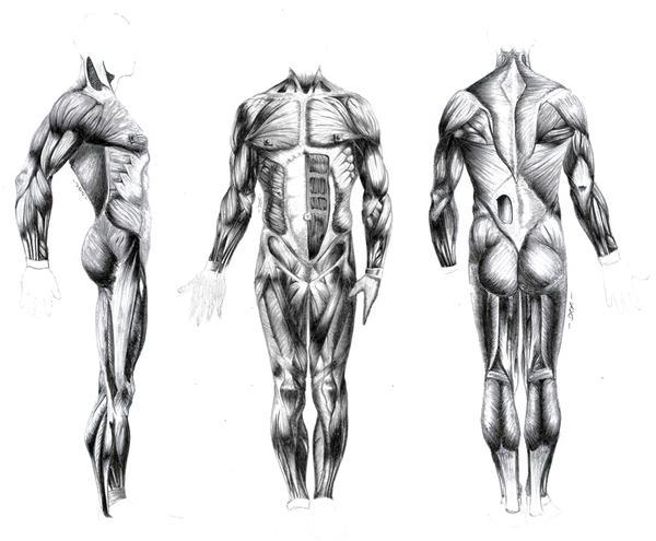 muscle body  by el