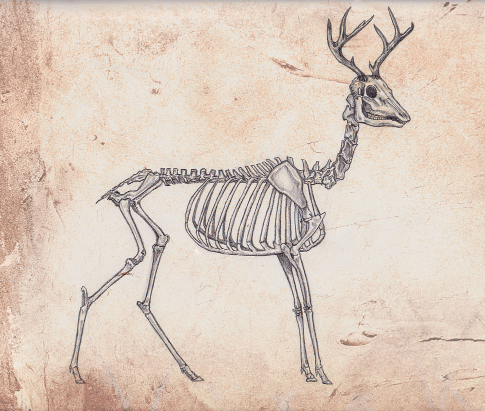 skeleton anatomy: deer by omgshira on DeviantArt