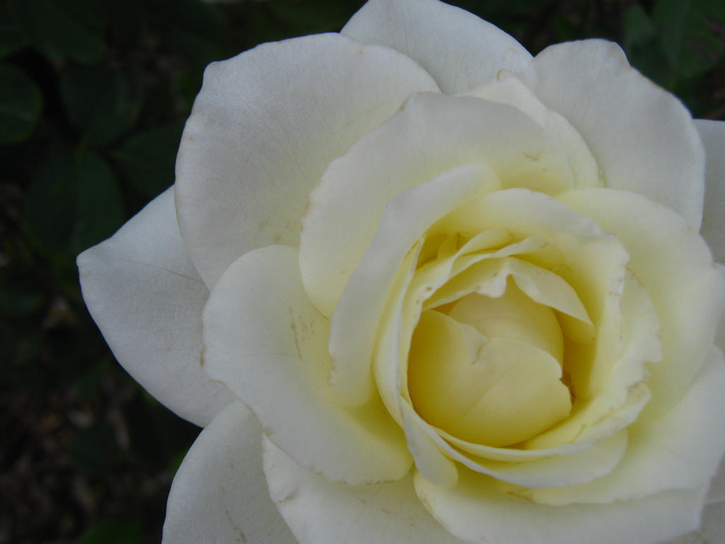 Another White Rose by my-dog-corky