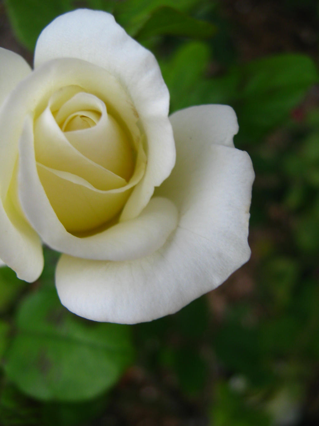 White Rose Bud by my-dog-corky