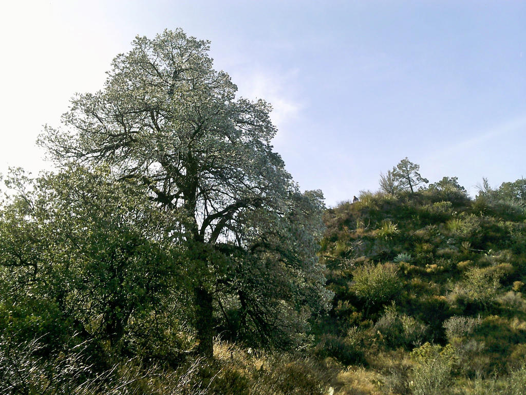 Tree - Big Bend, TX by my-dog-corky