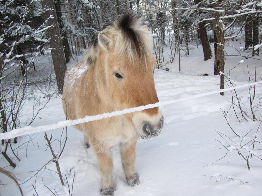 fluffy horses - photo #2