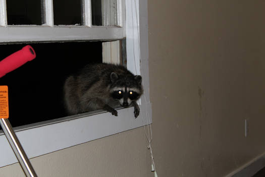 Raccoon trying to sneak in