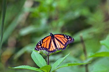 Monarch spreads it's wings in the sun