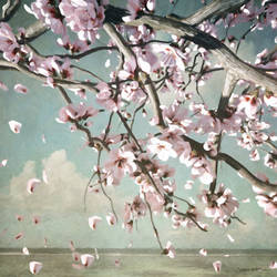 Cherry Blossoms by curious3d