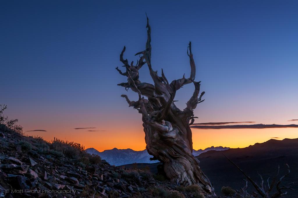 Bristlecone Sunset by MattGranzPhotography