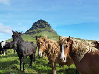 Kirkjufell Icelandic Horses