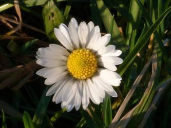 Daisy by xxchelsea19981