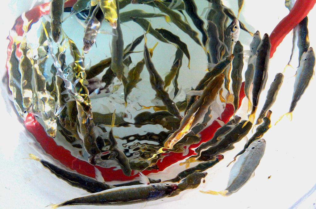Minnow Bucket by Jud-W