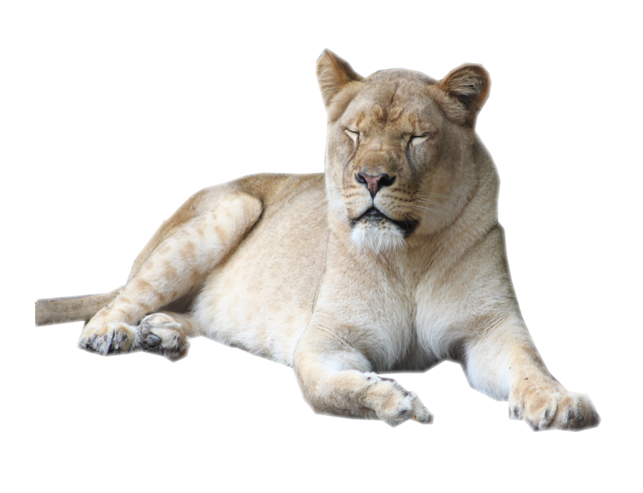 Lion Png Images Download: Female Lion Stock By Sherubichan On DeviantArt