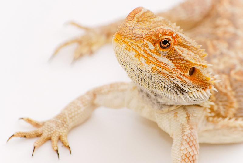 Bearded Dragon by FoxeyePhoto