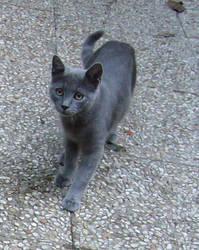 Grey cat by SayuriMVRomei