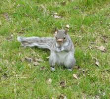 Central Park Squirrel 1 by SayuriMVRomei