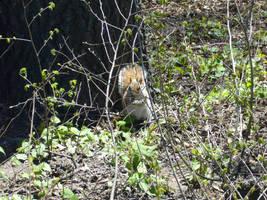 Central Park Squirrel 2 by SayuriMVRomei