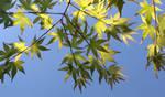 Green Maple leaves through sunshine by SayuriMVRomei