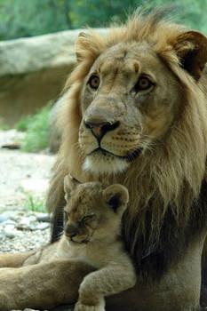Love Lions 004