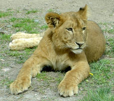 ..lion.. by annlo13