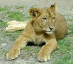 ..lion..